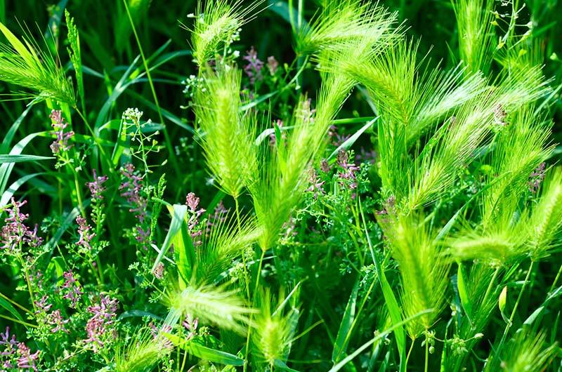 Foxtail a spiga, noto anche come forasacco, si frantuma in elementi più piccoli e contiene più semi